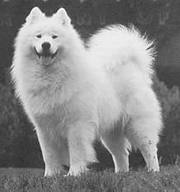 Samoyed huskey puppy