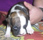 [[[[Cute boxer puppies for adoption