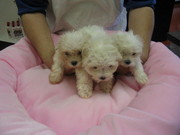 Cute Purebred Maltese Puppies