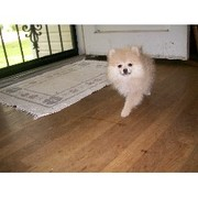 adorable Pomeranian Puppies For Sale/Adoption