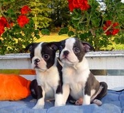 Boston Terrier Puppies Ready For Adoption