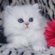 adorable persian kittens for xmas